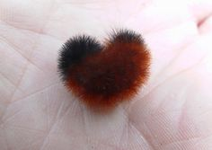 THE WOOLLY WORMS! Most caterpillars are icky… except for these guys. This cute caterpillar is the larvae of the Isabella tiger moth. The tiger moth belongs to the arctiidae family, which has Caterpillar Tattoo, Wooly Bear Caterpillar, Cute Baby Animals, Animals And Pets, Tiger Moth, Types Of Insects, Unusual Animals, I Love Heart, Red Panda