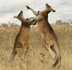 (Australian Slang) Do You Know much about Kangaroo? Kangaroo, a fascinating animal that is a native of Australia. Kangaroo Facts, Red Kangaroo, Beautiful Photos Of Nature, Nature Photos, Animals Beautiful, Majestic Animals, Amazing Nature, Beautiful Creatures, Animales