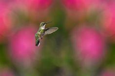 https://flic.kr/p/j9kGvK | Hummingbird in the Garden_DSC7122 | Ruby-throated Hummingbird flying in the garden. Explored.