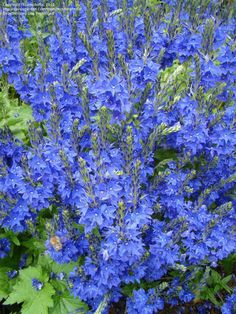 Speedwell 'Knallblau' Veronica teucrium ~ blooms in mid-spring and is a lovely companion to pink  Soapwort (saponaria) that trails in front. Bees love Speedwell. Cold hardy to Zone 3