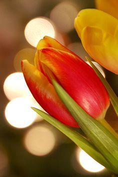 """Tulip - """"Declaration of love"""""""