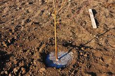 Cum se face altoirea cu ramură detașată, sub scoarța terminală Paradis, Fruit Trees, Grape Vines, Garden Tools, Ale, Home And Garden, Gardening, House, Agriculture