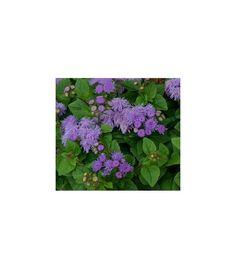 Nestařec mexický - prodej semínek - Ageratum houstonianum - okrasné rostliny Herbs, Herb, Medicinal Plants