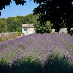 Gorgeous #lavender at the St.-Paul Asylum in #St-Remy #Provence. Think Van Gogh.