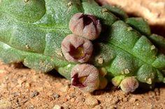 Echidnopsis uraiquatiana