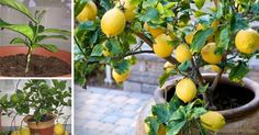 How to grow your own lemon tree! Even in northern climates and in the dead of winter, a productive lemon tree can be growing inside of your home or garage. Organic Gardening, Gardening Tips, Gardening Vegetables, Lemon Tree From Seed, How To Grow Lemon, Lemon Uses, Growing Tomatoes, Plantar, Potting Soil