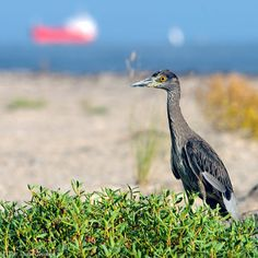 Most beaches are closed to vehicles, but San Luis Pass is the exception, so this makes birding even all the more enjoyable. Check the many miles of open pasture land for feeding shorebirds and waders on west FM 3005.