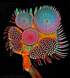 Igor Siwanowicz est un neurobiologiste qui utilise un microscope confocal à balayage laser pour réaliser des image ultra colorées d'appendices minuscules d'insectes et de petits animaux.