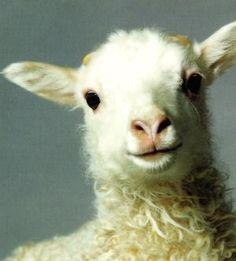 Sheep, Iceland 2008 by johanna