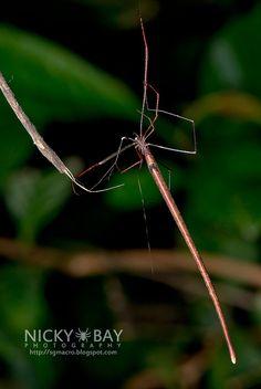 Amazing! A Twig Spider (Ariamnes sp.) ~ By Nicky Bay