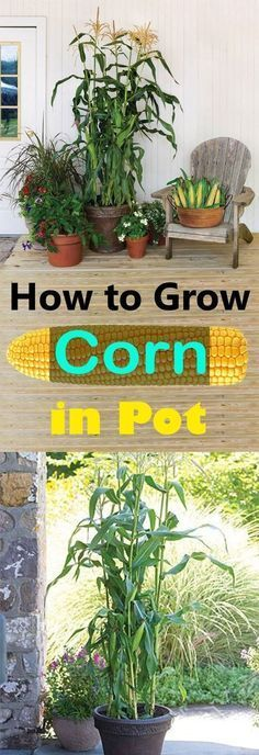 Growing corn in a pot is a thrill for those young and old. Organic Gardening, Gardening Tips, Bucket Gardening, Kitchen Gardening, Urban Gardening, Flower Gardening, Gardening Supplies, Balcony Gardening, Gardening Courses