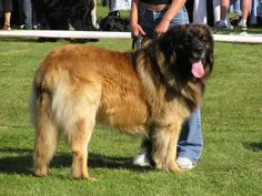 "The Giant Leonberger Dog ""The New Lion"" (9)"