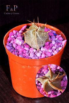 Cactus, Bucket, Buckets, Aquarius