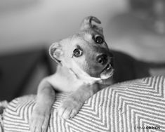 Here's what you need to know before you bring a new puppy home from a shelter. Dog photography by Emma O'Brien award winning portrait photographer & business coach #rescuepuppy #rescuedog #shelterpuppy #shelterdog #dogphotography #dogphotographer #businesscoach Shelter Puppies, Rescue Puppies, Dogs And Puppies, Black And White Dog, Black N White Images, Dog Photography, Dog Portraits, New Puppy, Photoshoot Ideas