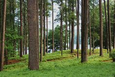 This looks like the area I live in, Whispering Pines, NC. southern pine trees