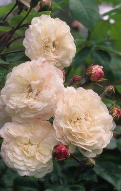 Rosa 'Little White Pet' Fotografia de John Glover, uno de los primeros y de los mas importantes fotografos de jardin del Reino Unido