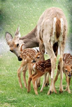 deer family   ...........click here to find out more     http://googydog.com