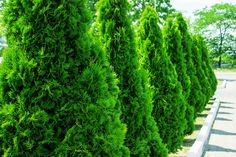 5 Trees for Screening Our Lovable Neighbors - Landscaping - Green Giant Tree, Green Giant Arborvitae, Emerald Green Arborvitae, Evergreen Trees For Privacy, Privacy Trees, Privacy Plants, Privacy Hedge, Fence Plants, Outdoor Privacy