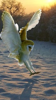 Barn owl pouncing its prey beneath the snow Beautiful Owl, Animals Beautiful, Beautiful Pictures, Pretty Birds, Love Birds, Lechuza Tattoo, Animals And Pets, Cute Animals, Photo Animaliere