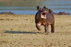 So witzig ... via GEO / © Marc Mol / Comedy Wildlife Photography Awards ... Nilpferd