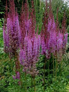 Astilbe Purple Candles - Statuesque purple-red plumes glow against bronze and green foliage. This tall variety blooms in early summer, later than other side garden, 2015 front garden by granite post) Herbaceous Perennials, Flowers Perennials, Planting Flowers, Shade Perennials, Flower Gardening, Gardening Tips, Shade Garden, Garden Plants, Flowering Plants