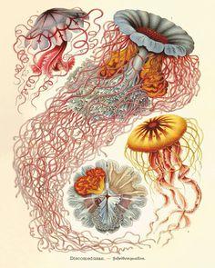 Medusa arte stampa vecchie stampe Arte nautica stampa storia naturale Decor di oceano mare vita arte antica stampe natura poster stampa 11x1...