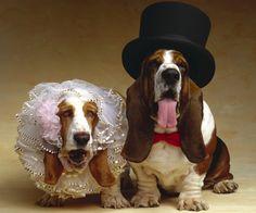 Perro Basset Hound Dos Sombrero de Animalia