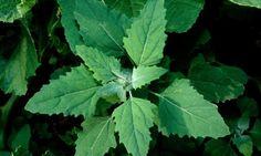 12 plantes sauvages comestibles à cuisiner !http://sauvagement-bon.blogspot.fr/2013/05/ne-pas-confondre-gaillet-et-gaillet.html