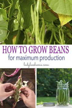 How to grow beans for maximum production. Best bean varieties, how to plant beans, how to care for beans in the garden, how to harvest and store beans. Organic Vegetables, Growing Vegetables, Regrow Vegetables, Veggies, Gardening For Beginners, Gardening Tips, Container Gardening, Growing Beans, Bean Varieties