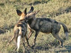 Up close and personal with wild dogs