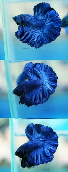 √ Different Types of Betta Fish ( with Beautiful Pictures ) Betta Aquarium, Betta Fish Types, Betta Fish Tank, Pretty Fish, Beautiful Fish, Koi Fish Pond, Fish Ponds, Colorful Fish, Tropical Fish