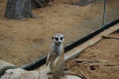 Meerkat at Richmond Zoo, August 2016