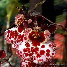 Ricardo's Blog, : Tolumnia (Oncidium) variegata, a native orchid locally known as angel of the coffee plantation