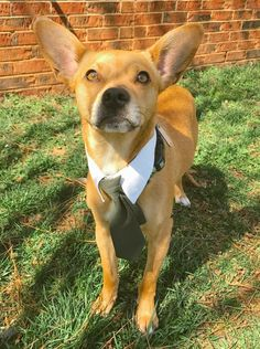 Radar is an adoptable Rat Terrier searching for a forever family near Thomasville, NC. Use Petfinder to find adoptable pets in your area.