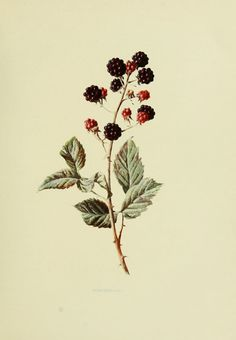 Blackberry, rubus fruticosus - high resolution image from old book. Botanical Tattoo, Botanical Drawings, Botanical Flowers, Botanical Prints, Ramo Tattoo, Botanisches Tattoo, Body Art Tattoos, Food Tattoos, Tattoo Bird