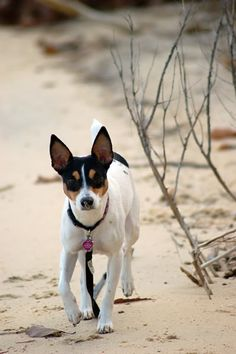 At the beach - this looks just like my Nelly! Perros Rat Terrier, Rat Terrier Puppies, Jack Terrier, Toy Fox Terriers, Terrier Breeds, Jack Russell Terrier, Dog Breeds, Miniature Fox Terrier, I Love Dogs