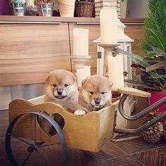 Let's go for a ride  .  .  #shibainu #dogoftheday #nationalpuppyday #puppiesofinstagram #shibainupuppy #shiba #puppy #puppylove #shibadog #dog #pupper #puppers #dogofinstaworld #dogs_of_instagram #dogphotography #dogsofinstgram #dogs #doglife #caninephotography #shibalove #shibapuppy #cycling #dogslife #puppies #pup #dogtoy #mustlovedogs #sillydog #shibagram #shibasofinstagram    #Regram via @shibainu.shiro.suki) Japanese Dog Breeds, Japanese Dogs, Cutest Puppy, Puppy Love, Shiba Puppy, National Puppy Day, Silly Dogs, Puppy Pictures, Dog Photography