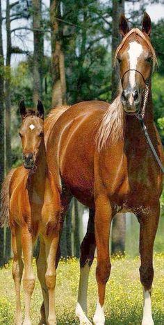 sooo CUTE   horse mum and foal #by www.facebook.com +  paradisearabians.com