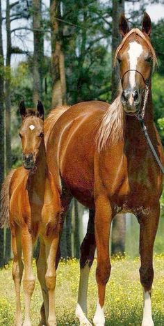sooo CUTE 💙💖💛💙💖💛 horse mum and foal #by www.facebook.com + paradisearabians.com
