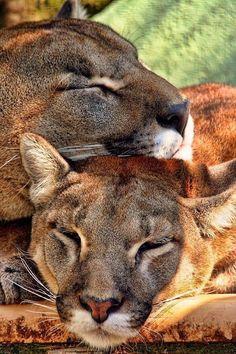 Я Люблю Кошек, Большие Кошки, Кошки И Котята, Милые Котики, Красивые Кошки, Милые Животные, Дикие Животные, Фотографии Животных, Фото Животных