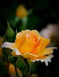 Rose 'Golden Beauty'