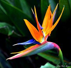 bird of paradise by longbachnguyen