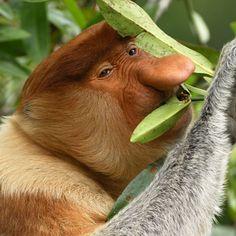 Image result for proboscis monkeys brunei