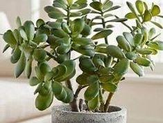 Jade Plant Care, House Plant Care, House Plants, White Bugs On Plants, Jade Plants, Jade Succulent, Lucky Plant, Rubber Plant, Gardens