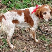 American Brittany Rescue Trer Utah Animals Pinterest And Animal