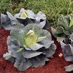 How to Plant Potted Flowers Outdoors in the Soil : Garden Space – Top Soop Types Of Cabbage, Cabbage Seeds, Wakefield, Garden Spaces, Green Leaves, Flower Pots, Compact, Popular, 19th Century