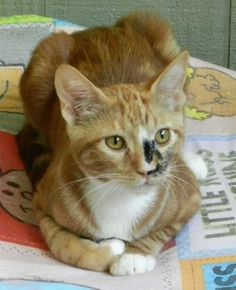 "<a href=""http://Petango.com"" rel=""nofollow"" target=""_blank"">Petango.com</a> - Meet Smudge, 9m 22d Domestic Shorthair / Mix available for adoption in SONOMA, CA. Smudge is FIV+ & had bonded with Sundance."