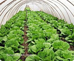 $300 underground greenhouse grows produce year-round, even in severe climates