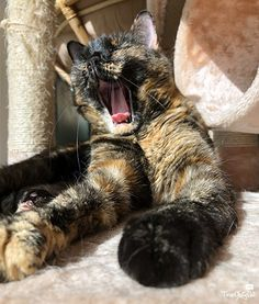 happy tortie cat