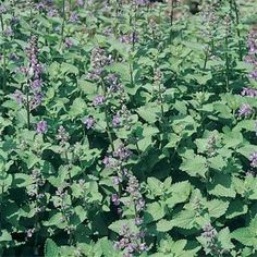 Catnip Herb Seed general info page
